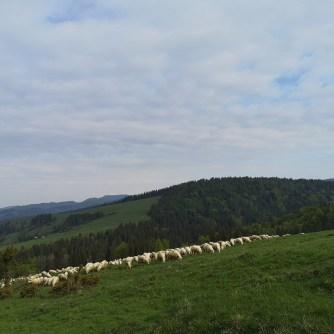 owce, żółty szlak, Przełęcz Rozdziela