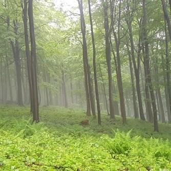 las, zielono, mgła, Beskid Niski