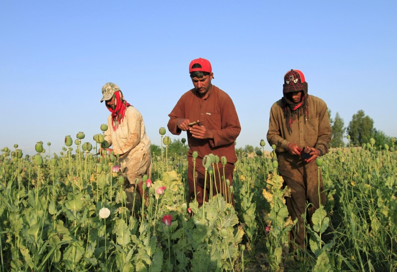 Afghan men gather raw opium on a poppy field on the outskirts of Jalalabad. Photo: Reuters/Parwiz