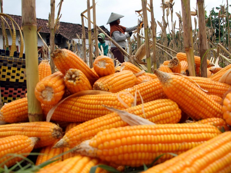 Workers collect corn during harvest time in Tulungagung, Indonesia, November 15, 2016. Photo: Antara Foto/Destyan Sujarwoko/ via Reuters