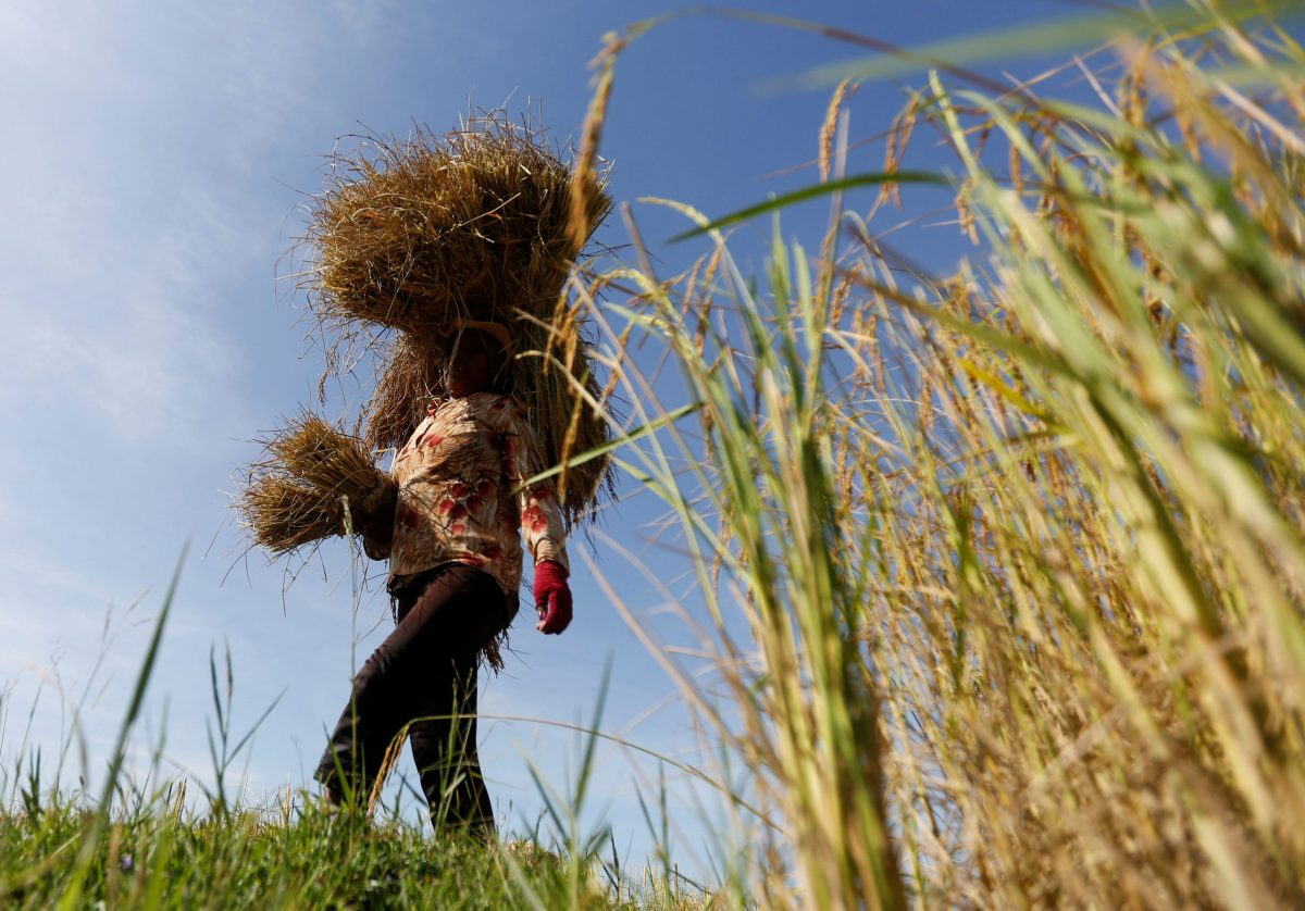 A farmer works in a rice paddy field outside Phnom Penh, Cambodia. Photo: Samrang Pring