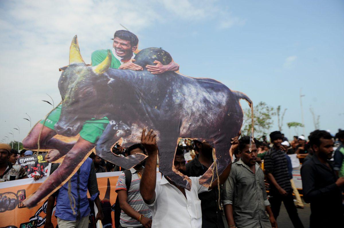 Indian students shout slogans and hold placards during a demonstration against the ban on the Jallikattu bull-taming ritual at Marina Beach, Chennai.  Photo: AFP / Arun Sankar