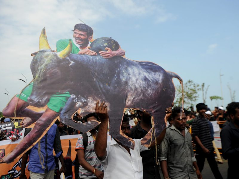 Indian students shout slogans and hold placards during a demonstration against the ban on the Jallikattu bull-taming ritual at Marina Beach, Chennai.  Photo: AFP / Arun Sankar