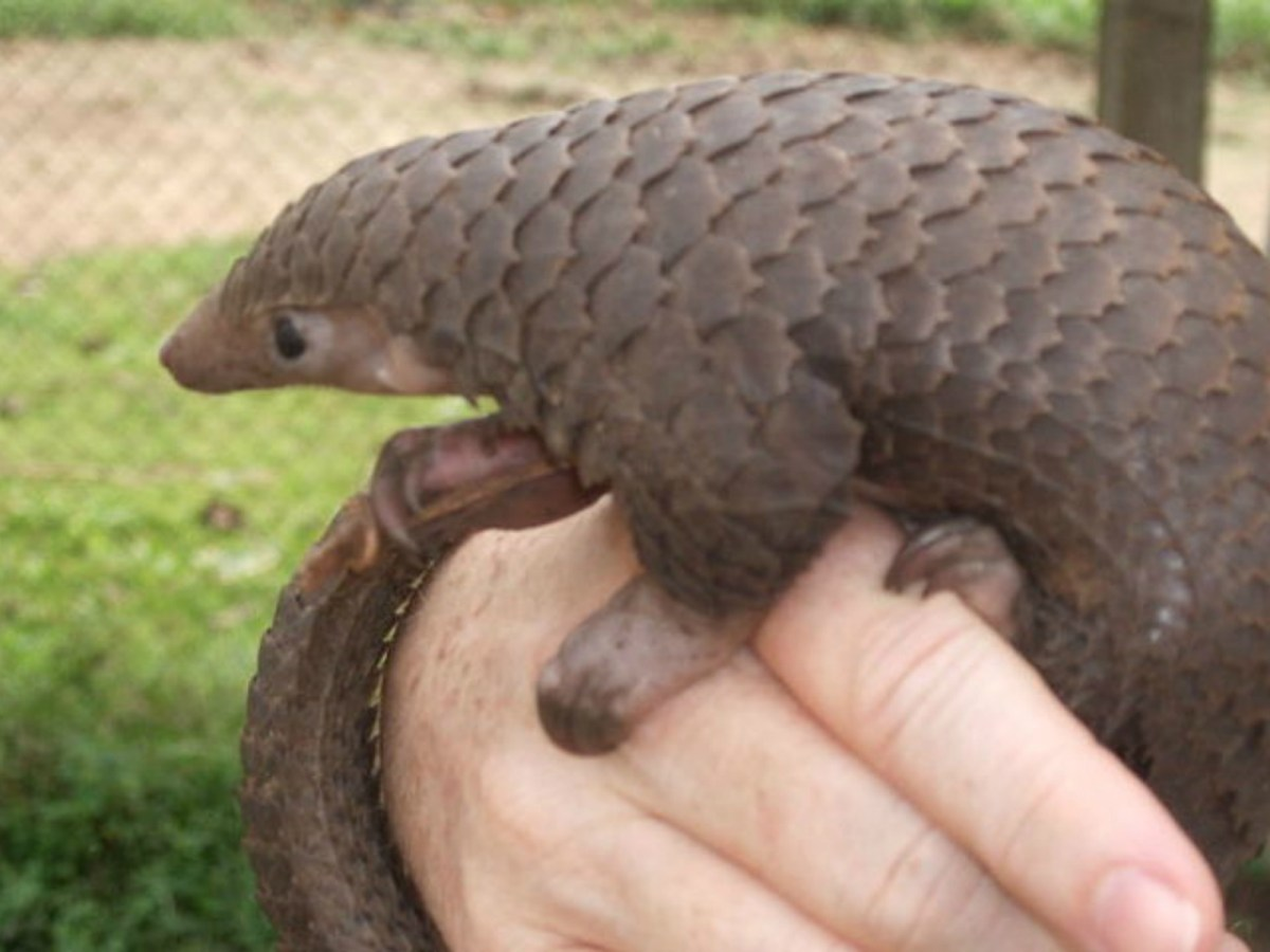 Pangolin is an endangered species in China. Photo: Wikimedia Commons