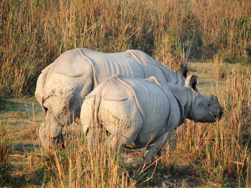 Rhinos in Kaziranga National Park. Photo: Wikimedia Commons