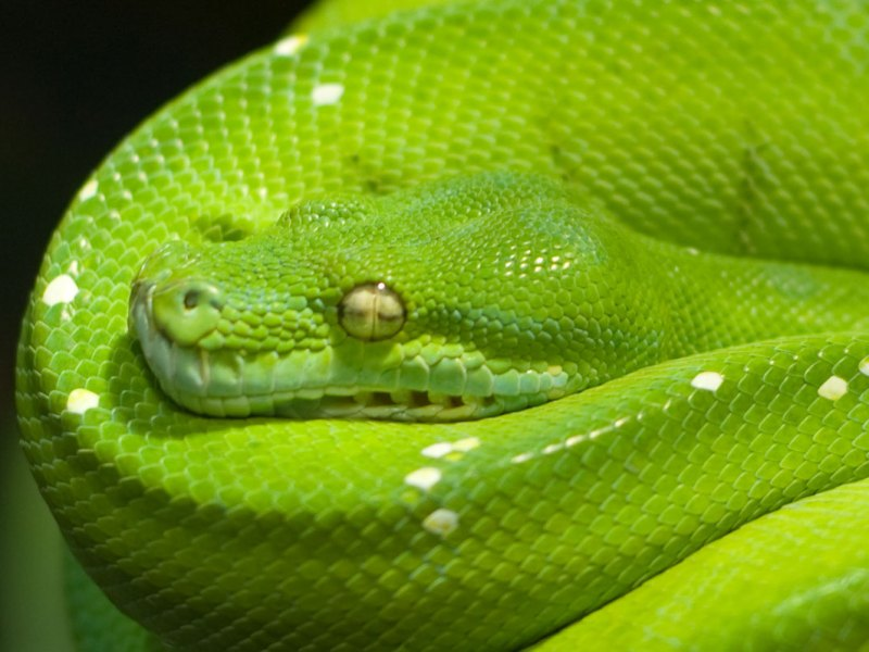More than 80% of Indonesia's green python (Morelia viridis) are exported illegally. Photo: Wikimedia Commons
