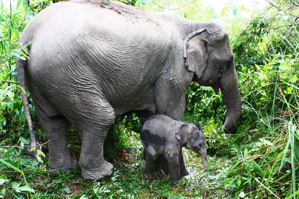 A one-day-old Asian elephant with his mother. Photo: Wikimedia Commons