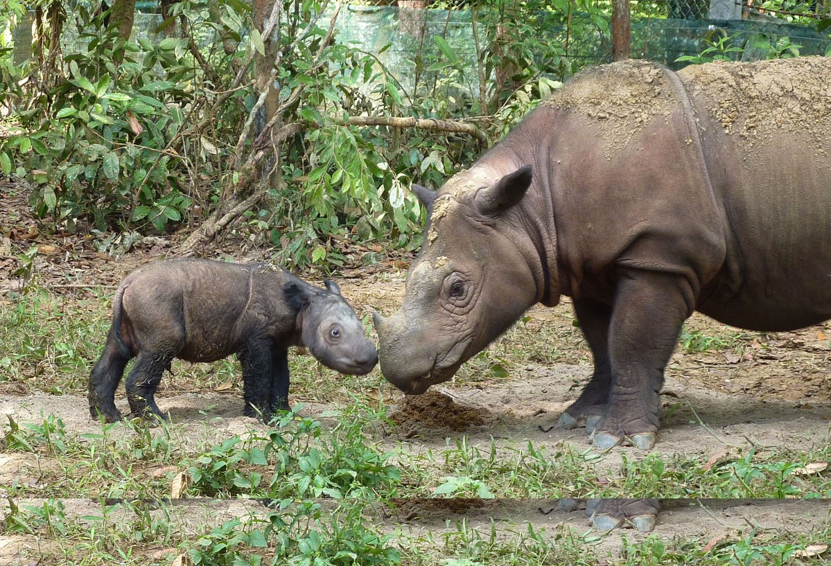 A Sumatran rhino with her four-day old calf. Photo: Wikimedia Commons