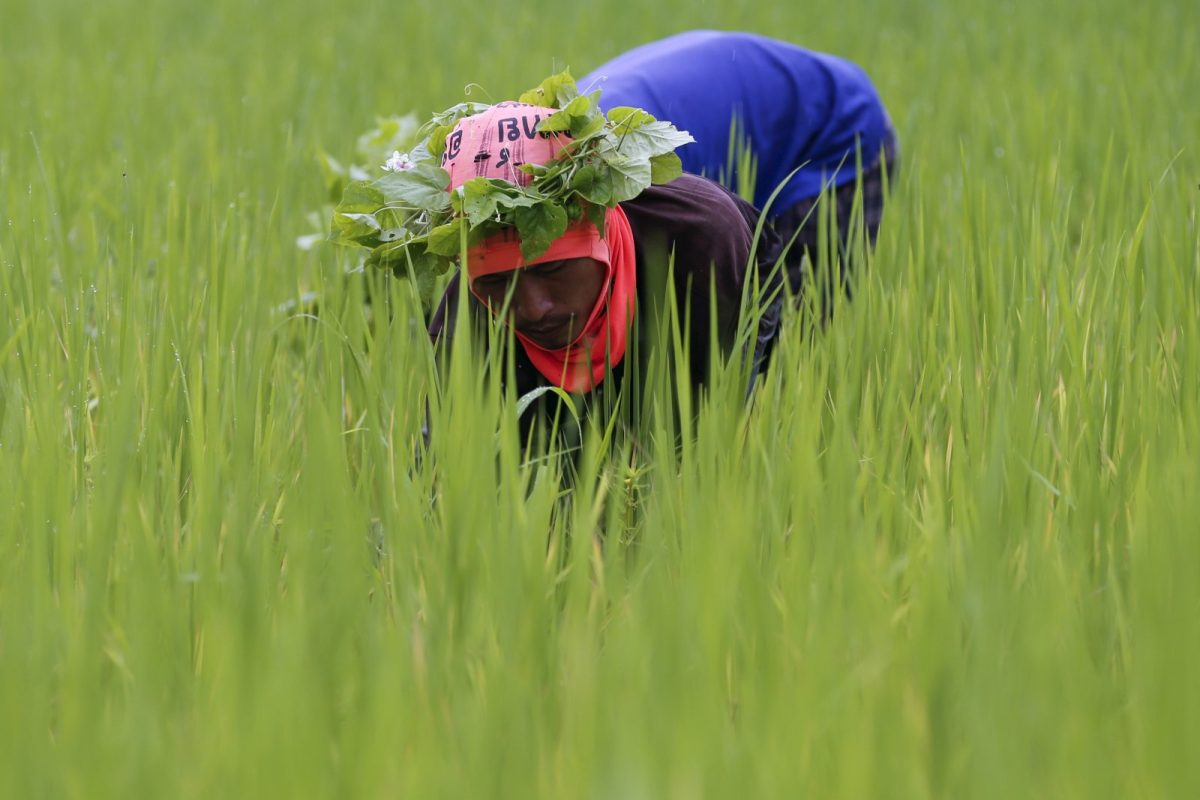 A rice farmer collects snails and cleans the rice field near Udon Thani, Thailand. Photo Reuters / Jorge Silva