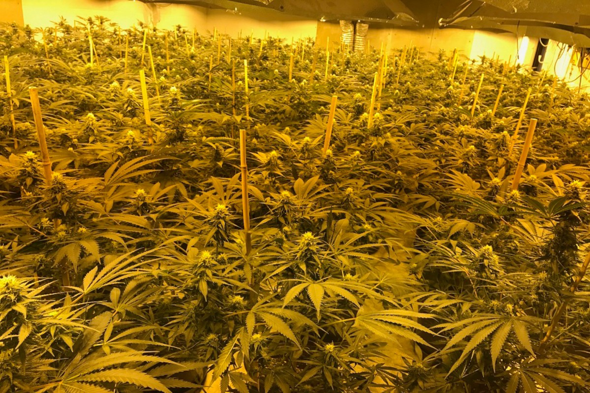 In February, four Vietnamese teenagers were arrested by Wiltshire Police tending a vast marijuana farm in a disused government nuclear bunker complex. Photo: AFP/Wiltshire Police