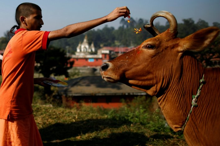 Cow is regarded as sacred by Hindus in India and cow slaughter is banned in 22 states. Photo/Reuters/Files