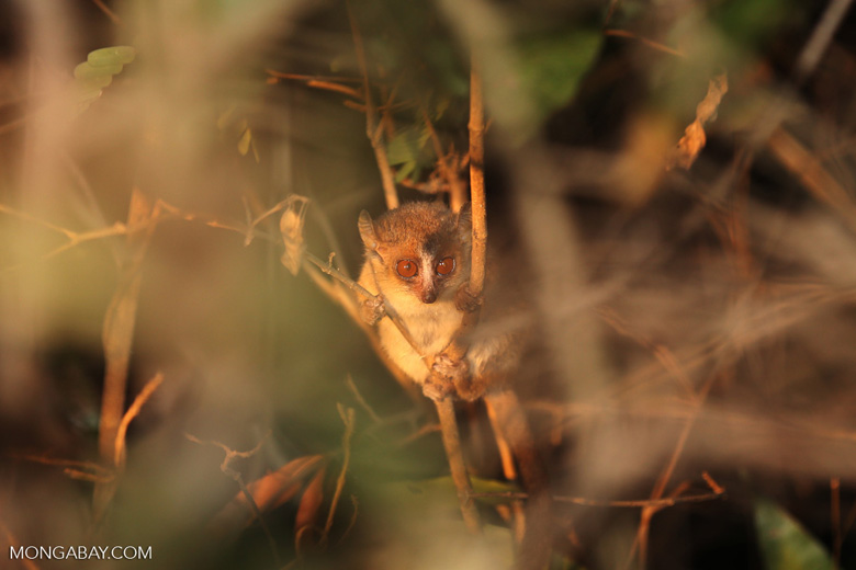 The golden-brown mouse lemur (Microcebus ravelobensis) inhabits northern Madagascar's dwindling dry forests. It is listed by the IUCN as Endangered due primarily to habitat loss. Photo: Rhett A. Butler