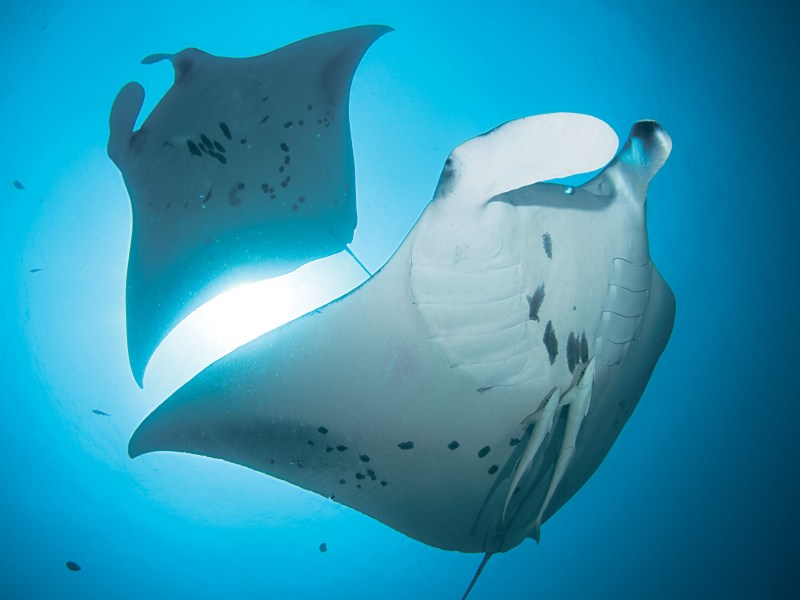 The belly of manta rays have unique spots. Photo: Wikimedia Commons