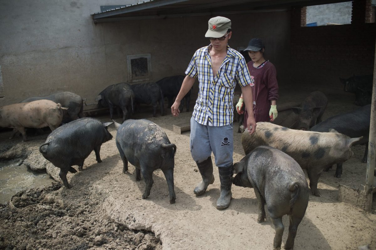 Farmers check on their pigs at a farm on the outskirts of Beijing. Photo: AFP/Nicolas Asfouri