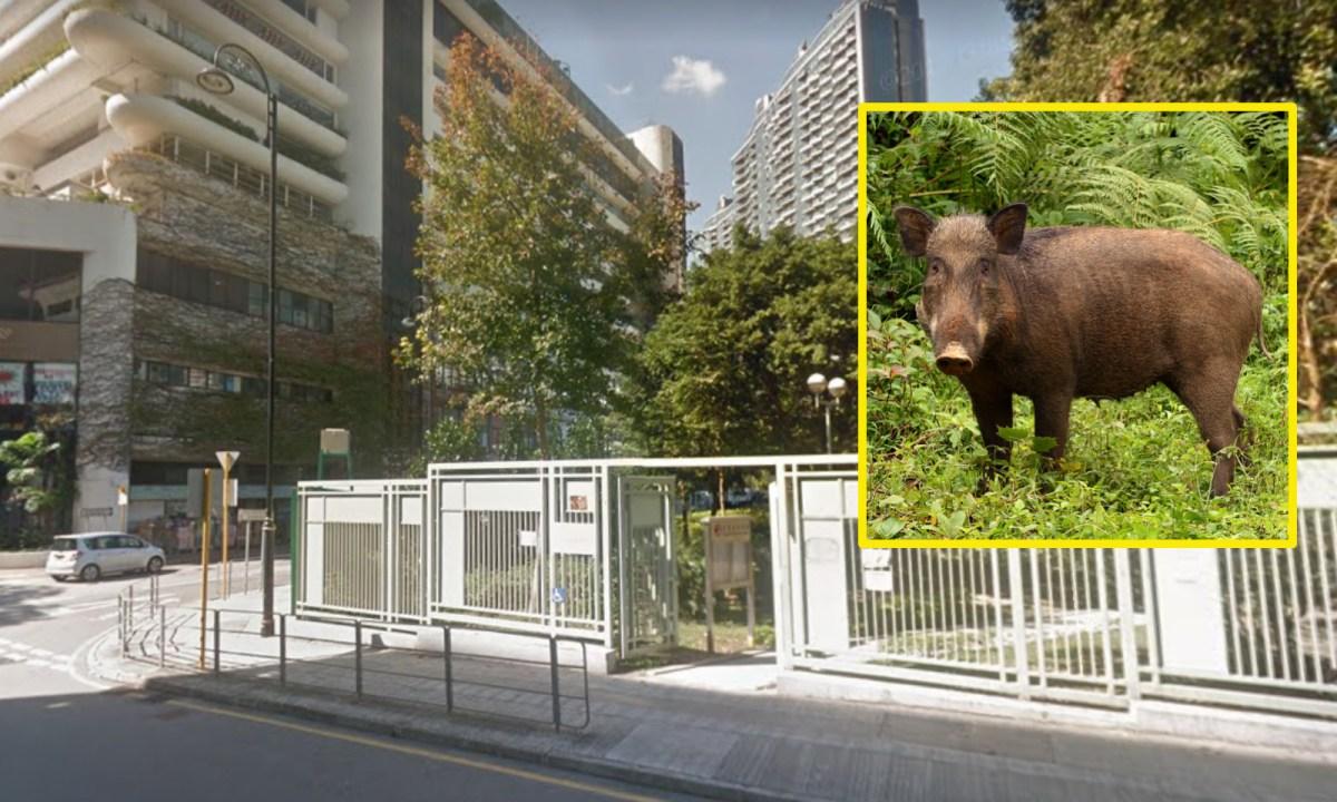 Wild boars appear on Shum Wan Road in Aberdeen, Hong Kong Island. Photo: Google Maps, Wikimedia Commons