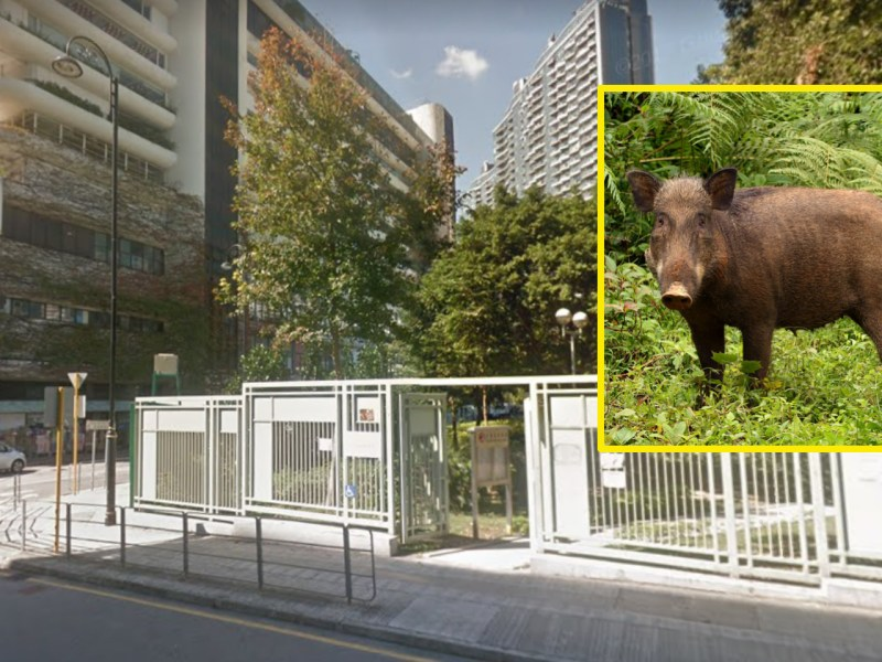 Wild boars appear on Shum Wan Road in Aberdeen, Hong Kong Island. Photo: Google Maps, Wikimedia Commons