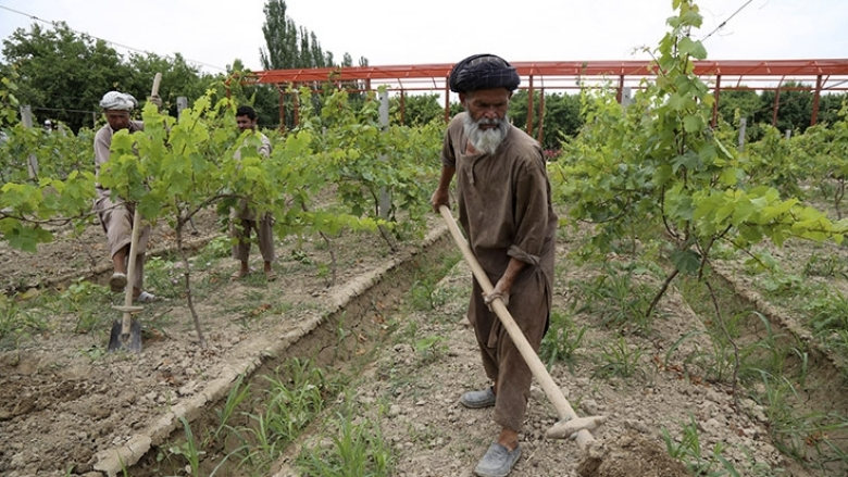 An Afghan farmer grows apples, almonds, pomegranates, and grapes in the orchard where he has been working over the last four years. Photo: World Bank