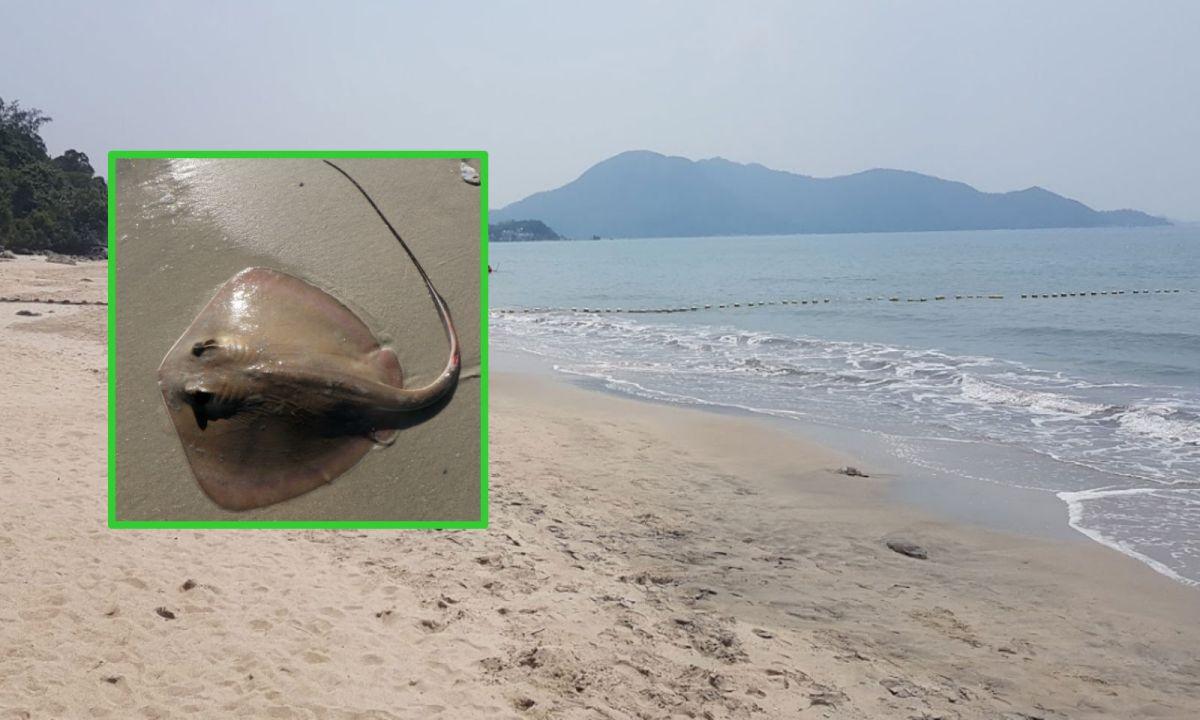 A stingray, inset, and Upper Cheung Sha Beach on Lantau Island. Photo: Google Maps, Wikimedia Commons, todalady1