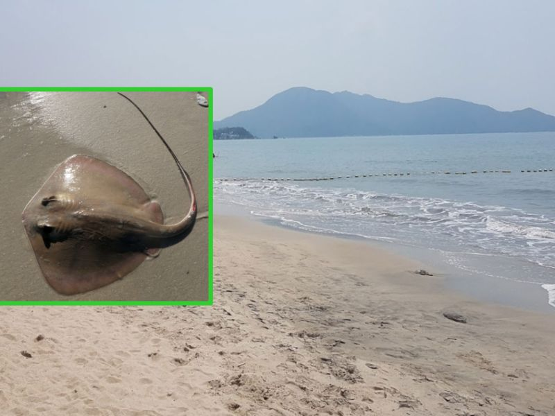 A stingray, inset, and Upper Cheung Sha Beach on Lantau Island. Photo: Google Maps, Wikimedia Commons, todalady1