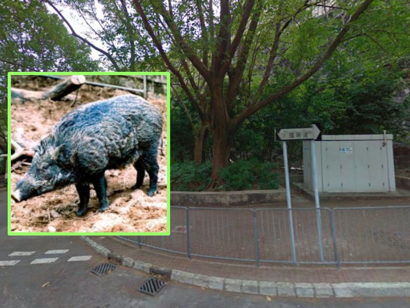 A wild boar, like the one who got its head caught in a roadside fence at Shau Kei Wan on Hong Kong Island. Photo: Google Maps, AFCD