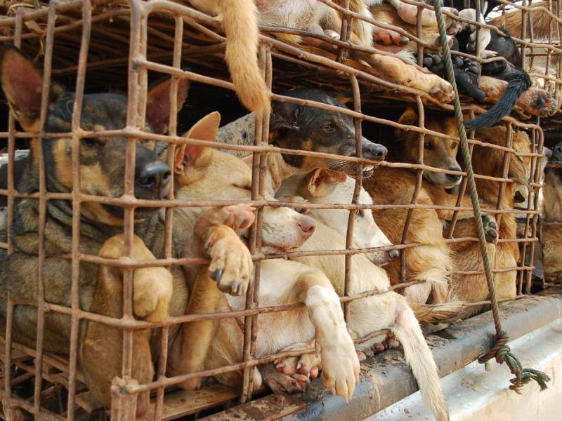 Dogs in overcrowded cages are moved to market in Vietnam. Photo: Soi Dog Foundation
