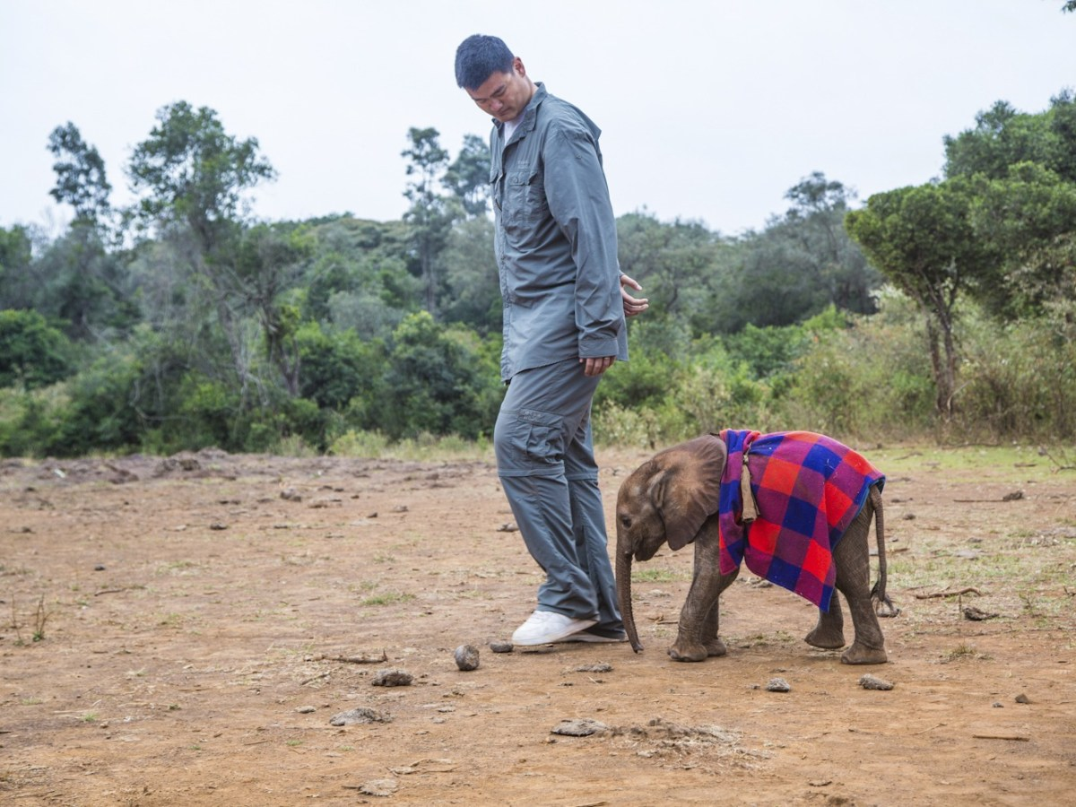 Yao Ming walks with a baby elephant in Africa. The basketball star played a key role in the PR campaign against sales of ivory in China. Photo: WildAid