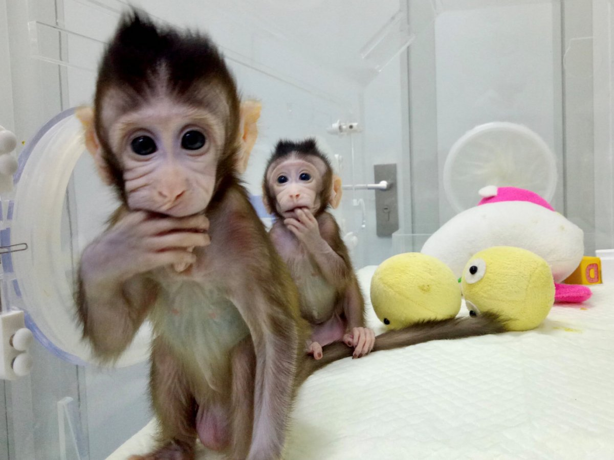 Cloned monkeys Zhong Zhong and Hua Hua at the non-human primate facility at the Chinese Academy of Sciences in Shanghai. Photo: China Daily / Reuters