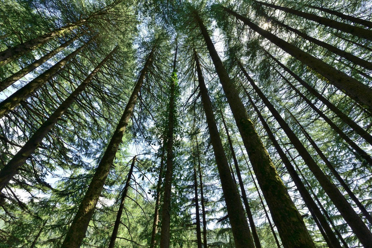 Pine forest. Photo: iStock