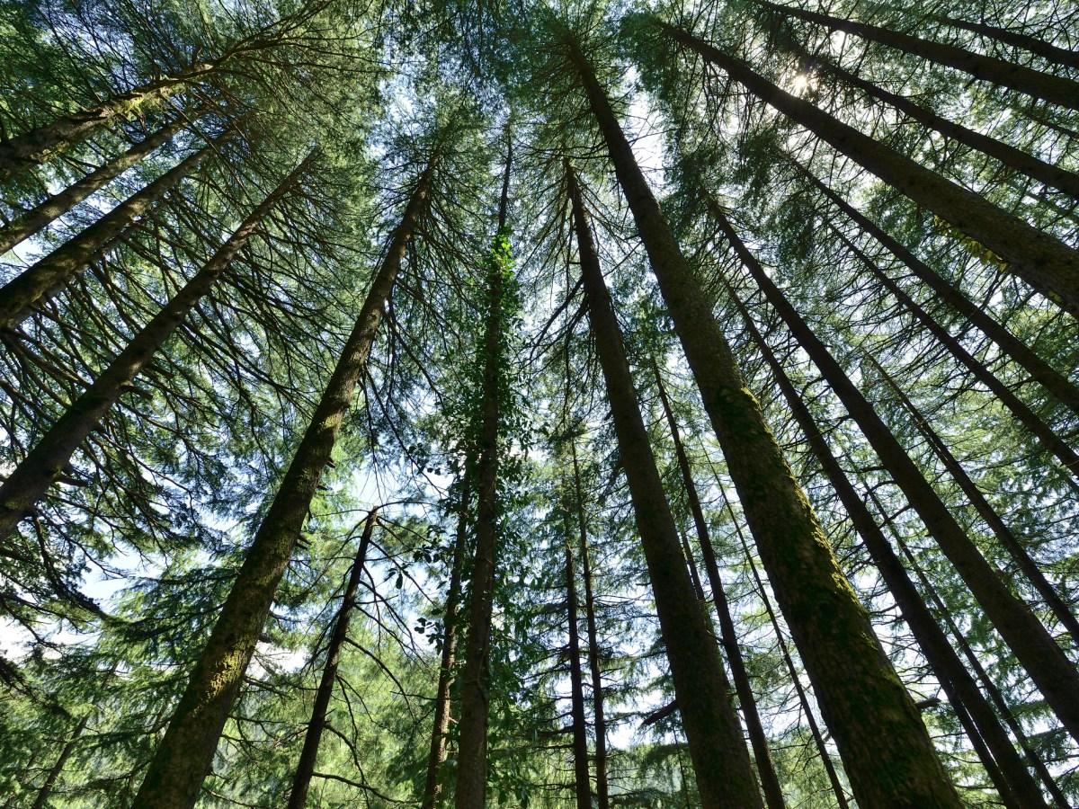Pine forest. Photo: iStock
