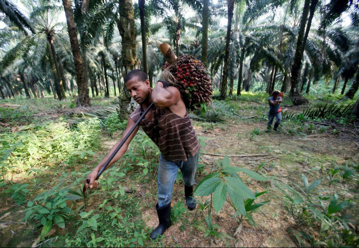 Workers collect oil palm fruits at Felda Sungai Tengi Selatan plantation in Sungai Tengi, Malaysia, June 22, 2012.  Photo: Reuters/Bazuki Muhammad/File Photo