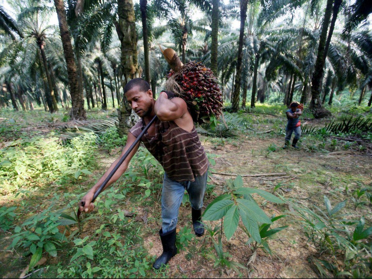 Workers collect oil palm fruits at Felda Sungai Tengi Selatan plantation in Sungai Tengi, Malaysia, June 22, 2012.  Photo: Reuters/Bazuki Muhammad/File Photo