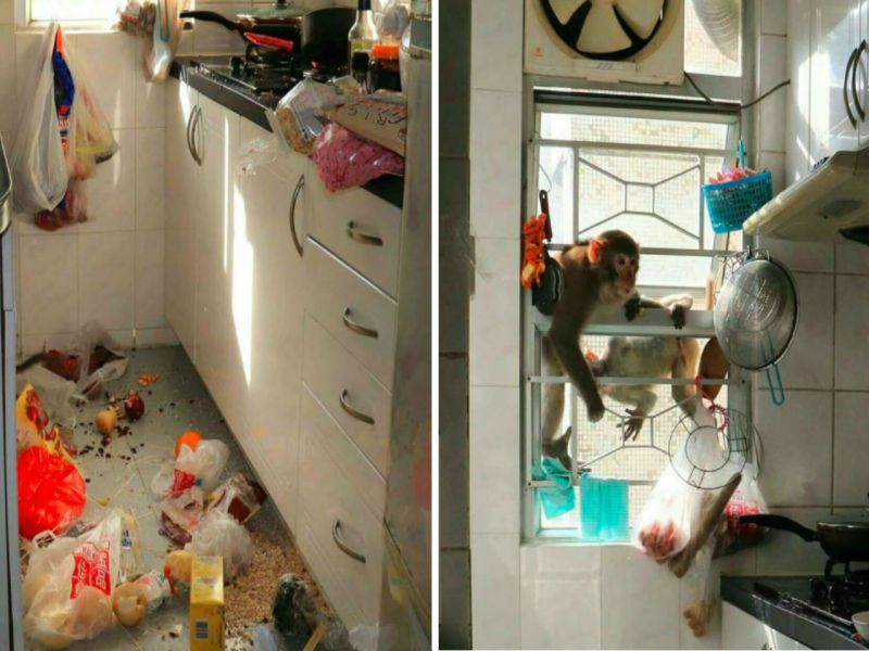 Two monkeys invade the kitchen of an apartment in Sha Tin, the New Territories Photo: Facebook, Sha Tin Locals, Susanna Ho