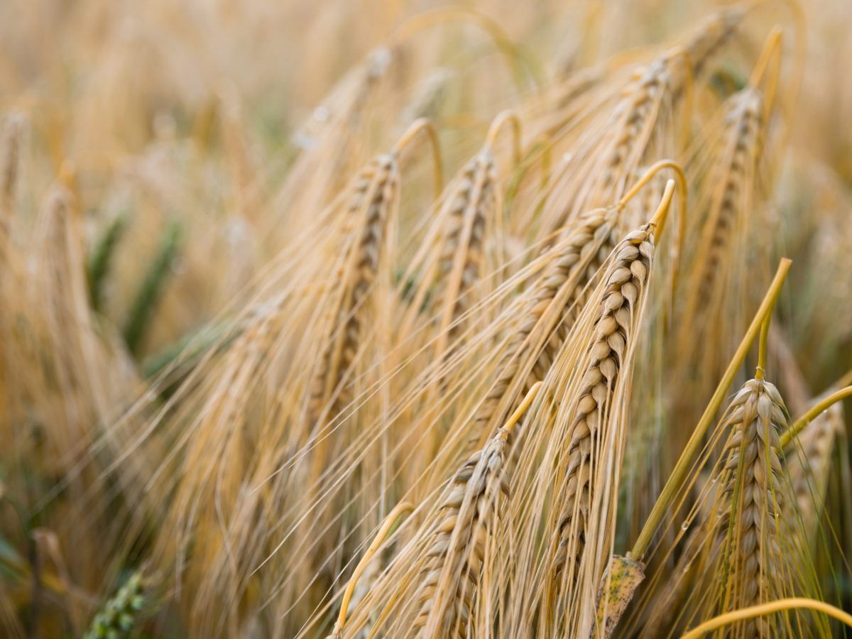 There are better ways to manage wheat and other crops. Photo: Pavo