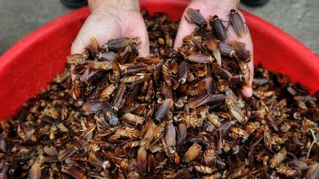 A worker at the farm examines the cockroaches being raised there. Photo: Xinhua