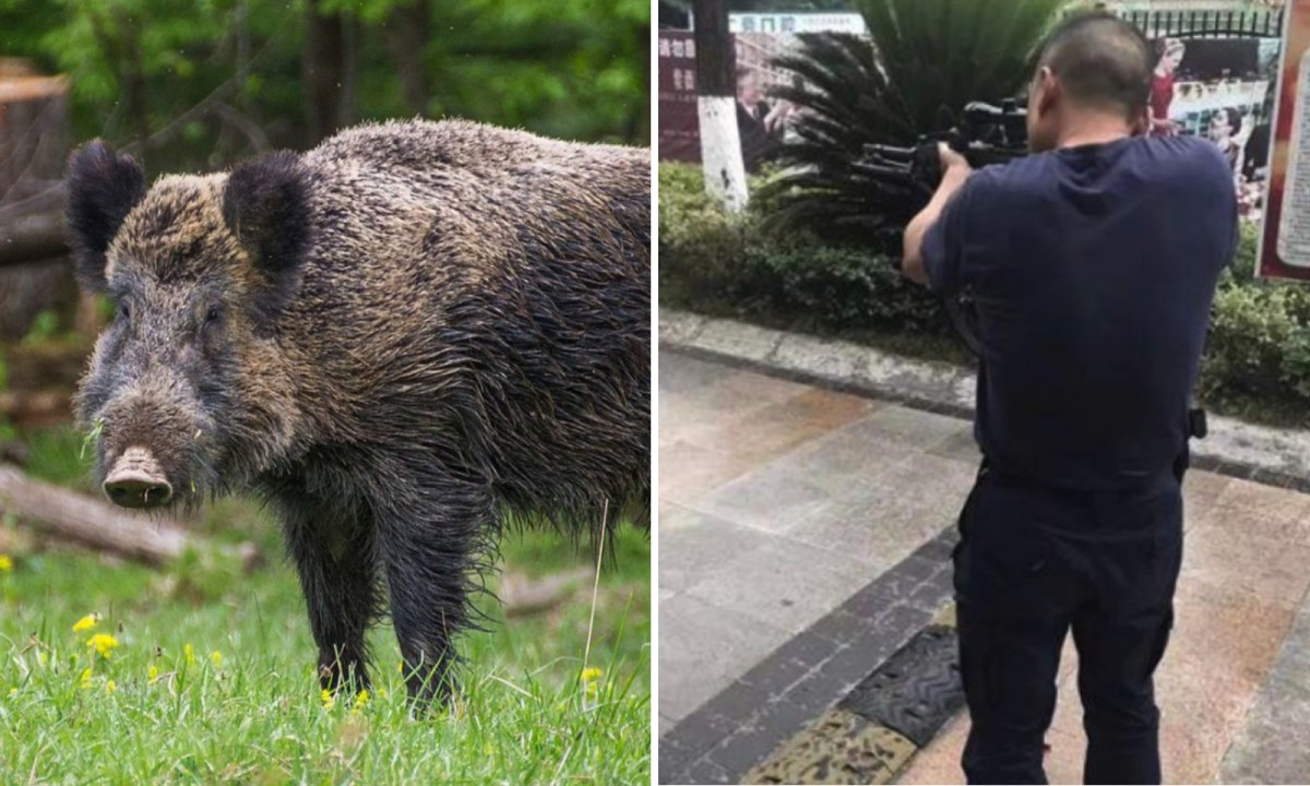 A wild boar was shot dead by the police in Hanzhong. Photo: Wikipedia, Hanzhong police bureau