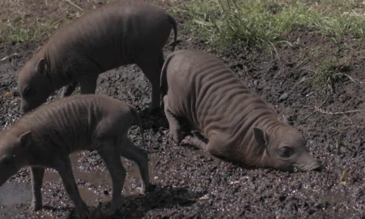 Three Babirusa piglets were born at Chester Zoo in northern England. Photo: Chester Zoo, YouTube