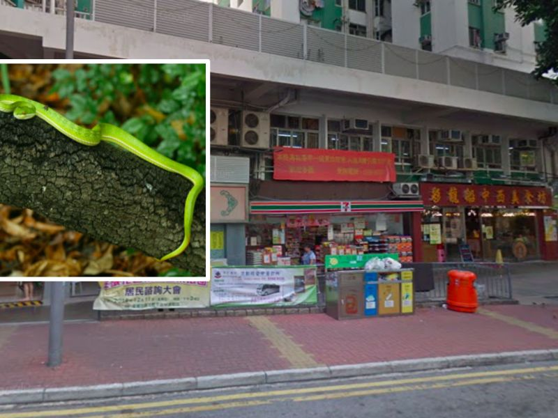 Tsuen Wan, the New Territories (inset) Bamboo Pit Viper Photo: Google Maps, AFCD