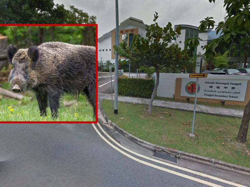 A woman was injured after being attacked by a wild boar near Punggol Secondary School in Singapore. Photo: Google Maps/Wikimedia Commons