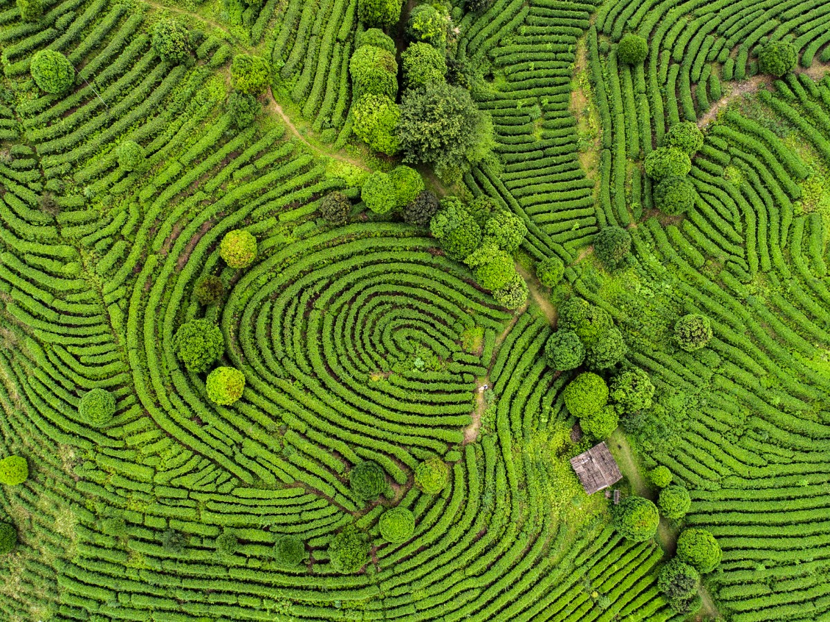 An aerial view of Chinese tea fields. The Agricultural Bank of China has used blockchain to issue a tea-industry loan worth around $300,000. Photo: iStock