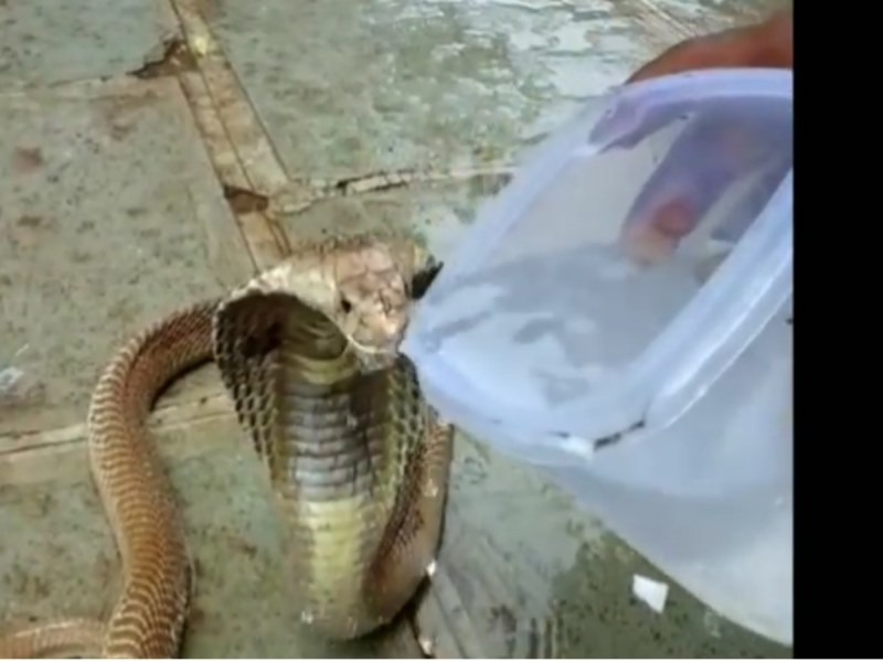 The thirsty king cobra has a drink of water. Photo: Youtube