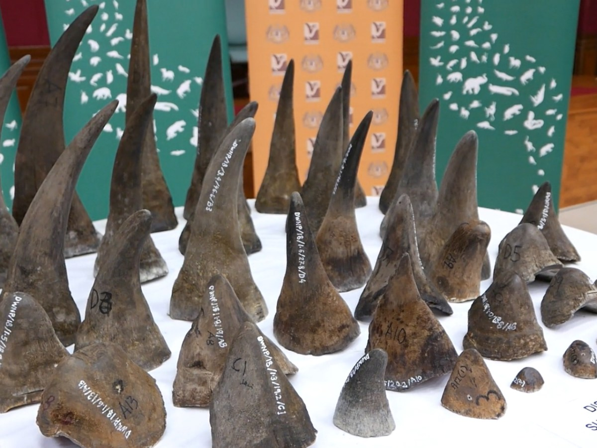 The horns are reportedly worth US$11.72 million. Photo: Traffic.org.