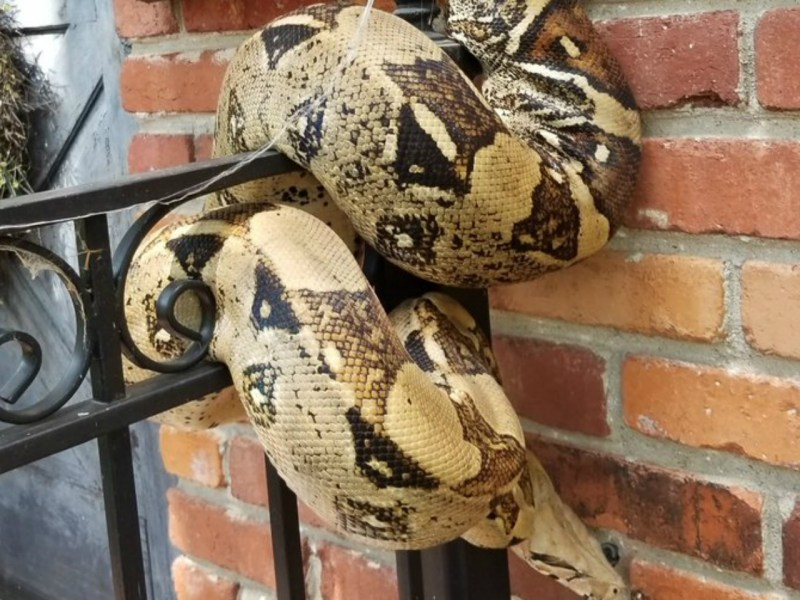 The python was wrapped around the mailbox. Photo: Courtesy OverlandPark_PD@ Twitter