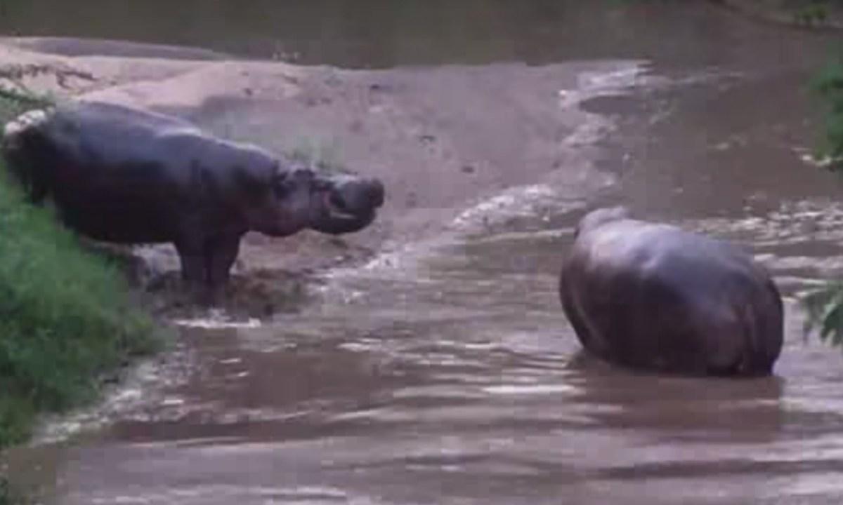 Hippos in Kenya. Photo: YouTube
