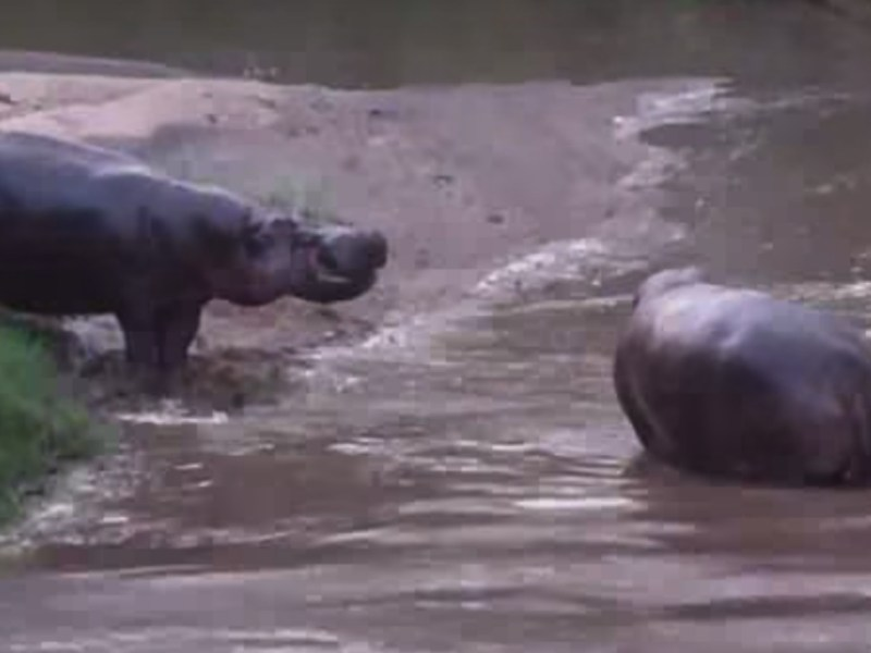 Hippos in Kenya. Photo: YouTube