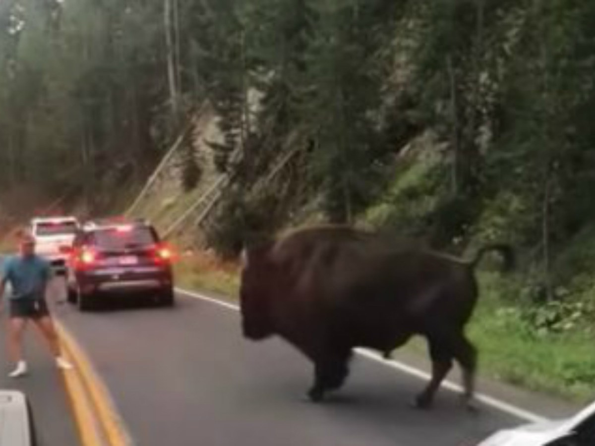 The Bison moves  toward Reinke in a YouTube clip. Video courtesy of Lindsey Jones
