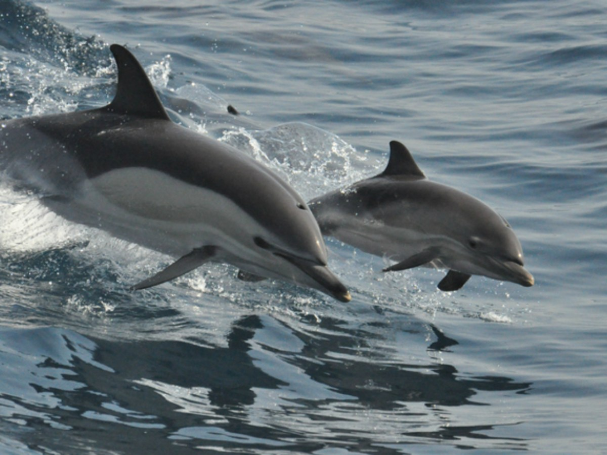 Bottlenose dolphins are among the most intelligent species on the planet. Photo by iStock.