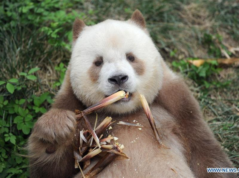 Qizai belongs to a rare subspecies that has brown and white fur.  Photo: Xinhua