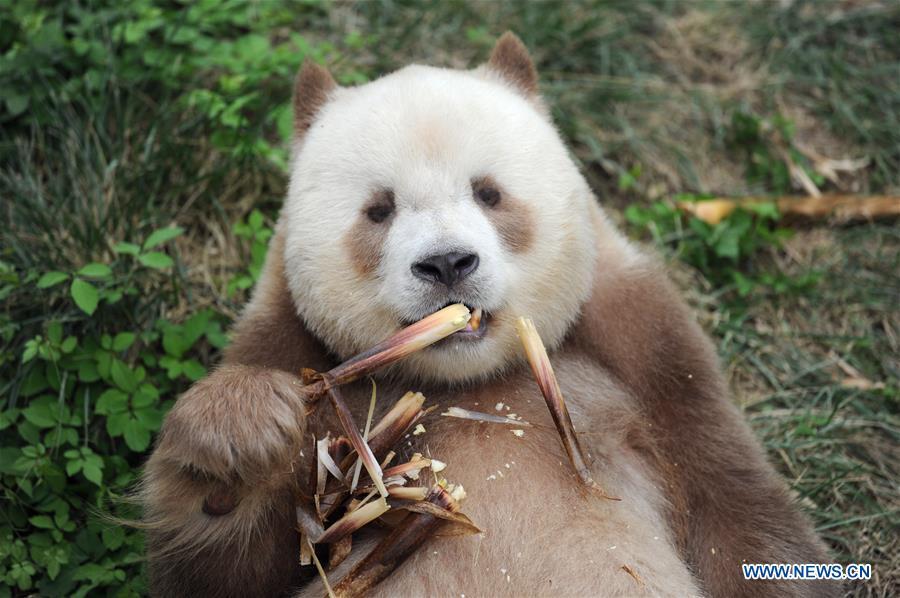 Qizai belongs to a rare subspecies that has brown and white fur.  Photo: Xinhua
