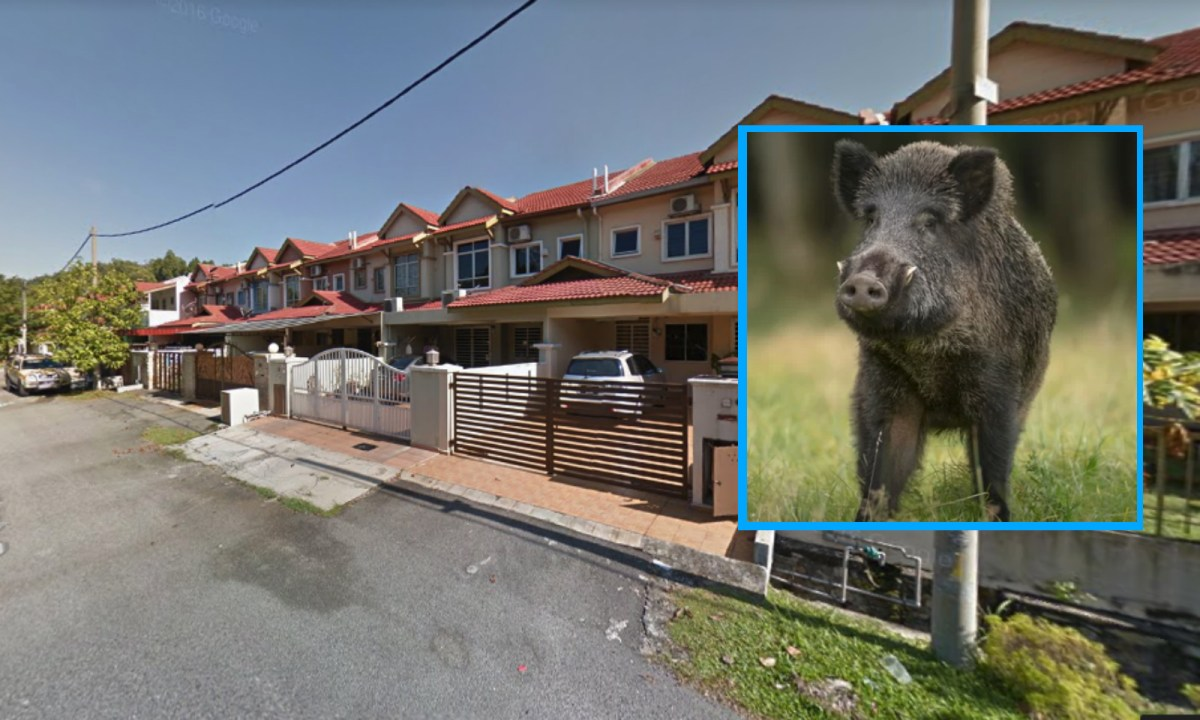 Boars have become a problem in the suburban areas of Johor. Main photo by Google Maps. Inset by iStock.