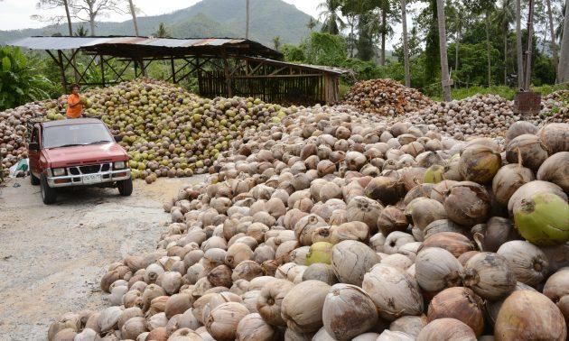 位於泰國南部的椰子種植園 。相片:AFP